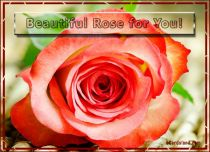 eCards  Beautiful Rose for You,