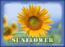 eCards  Sunflower,