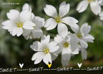 eCards Flowers Sweet Flowers, Sweet Flowers