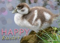 eCards Easter Easter Duck, Easter Duck